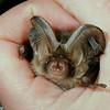 Brown long-eared bat (Plecotus auritus) held in hand in England.