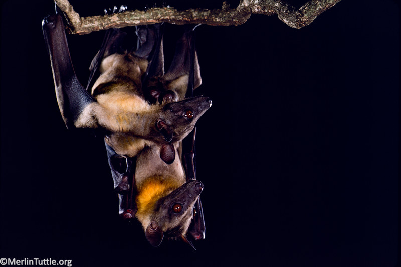 Straw-colored fruit bat (Eidolon helvum)