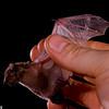 White-winged serotine (Neoromicia tenuipinnis)