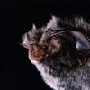 Rafinesque's big-eared bat (Corynorhinus rafinesquii)