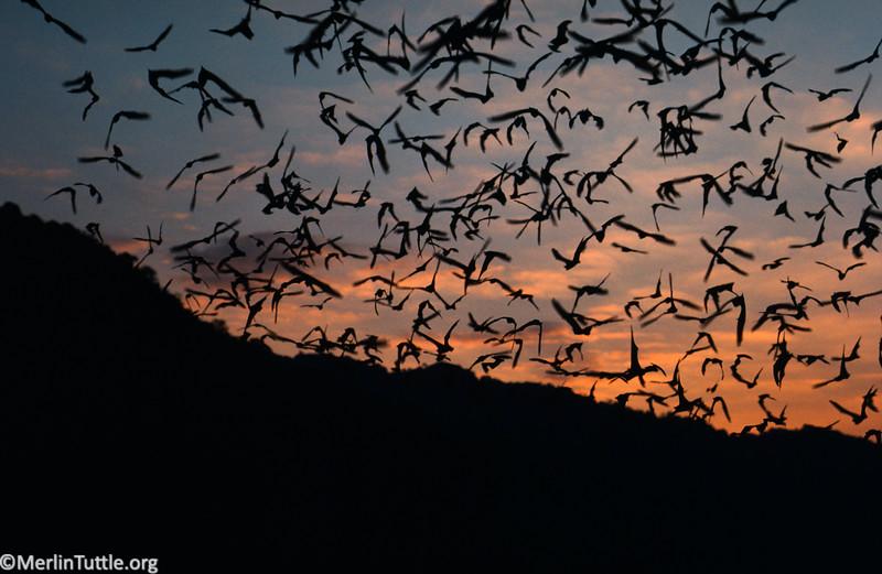 Asian wrinkle-lipped bat, Chaerephon plicatus