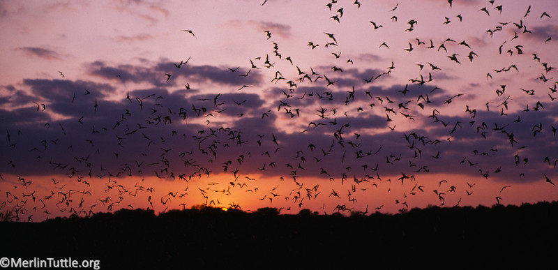Brazilian free-tailed bats (Tadarida brasiliensis) emerge from Frio Cave in Texas.