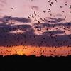 Brazilian free-tailed bat (Tadarida brasiliensis)