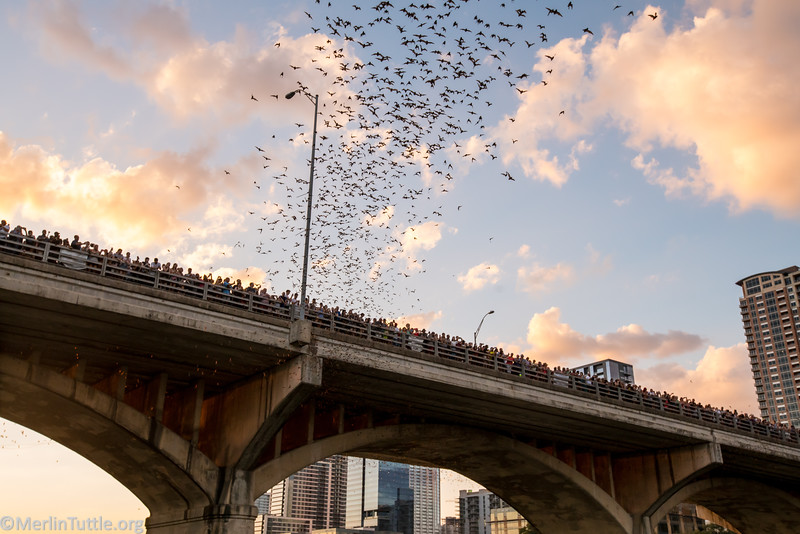 Tourists observing the emergence of 1.5 million Brazilian free-tailed bats from crevices beneath the Congress Avenue Bridge in Austin, Texas.
