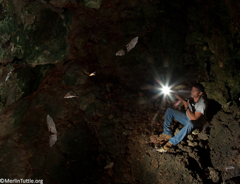 A few of the bat population estimated to exceed one million, emerging from Cueva de los Magaes, Siboney, Cuba. Dr. Jorged A. Tamayo Fonseca, Director of the Jiboney-Jutcl Research Station, is observing the emergence. Protecting the cave and its bats is a responsibility he takes seriously.