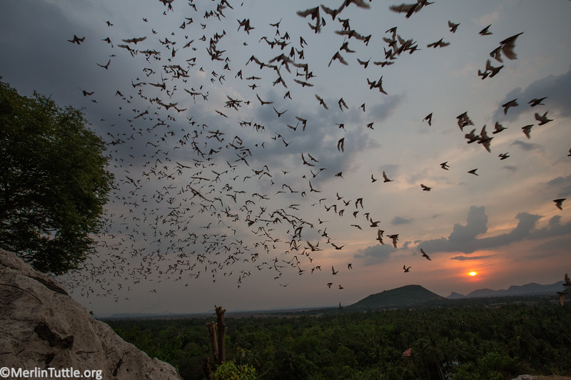 Asian wrinkle-lipped bats (Chaerephon plicatus) emerging from Tarum Cave (entrance #2) in Cambodia.