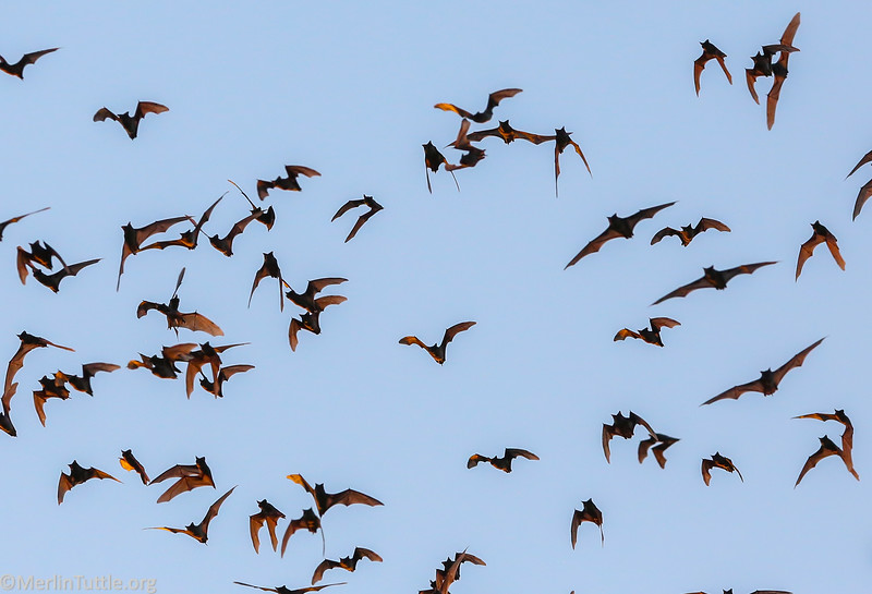 Brazilian free-tailed bats (Tadarida brasiliensis) emerging from Bracken Cave in Texas.