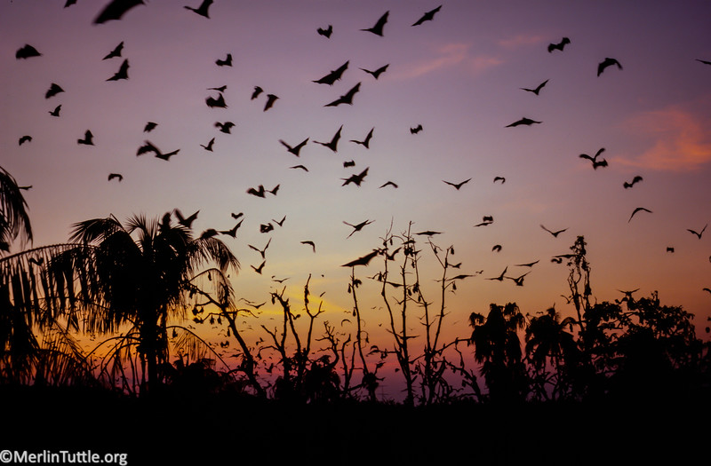 Lyle's flying fox (Pteropus lylei) emerging from their tree roosts for the night.