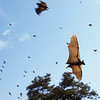 Straw-colored fruit bats (Eidolon helvum) flying between tree roosts in Kasanka National Park in 2003. This colony was then already facing a shortage of feeding and roosting sites. These bats spread thousands of tons of seeds nightly, covering enormous expanses during seasonal migrations. The value of their ecoservices is almost unimaginable.