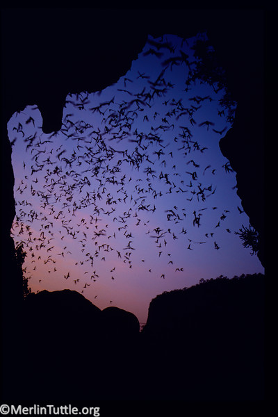 Asian wrinkle-lipped bats (Chaerephon plicatus) emerging from a cave in Thailand. These bats are extremely valuable controllers of insect pests that attack rice crops. Emergences