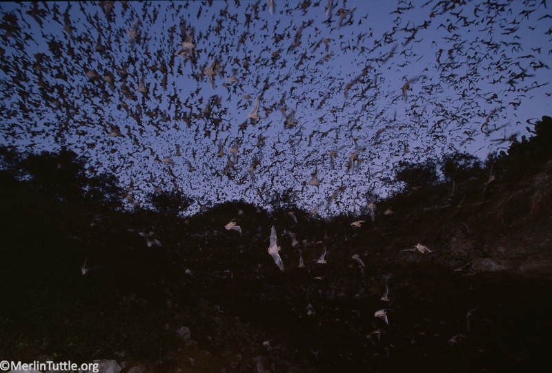Brazilian free-tailed bats (Tadarida brasiliensis) departing from Bracken Cave in Texas. Before their dawn return they will consume more than 100 tons of insects.