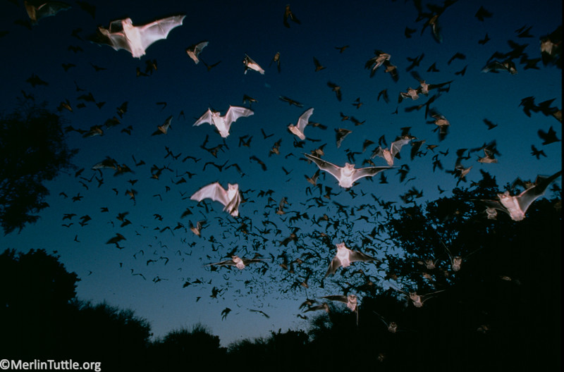 Brazilian free-tailed bat (Tadarida brasiliensis) emerging from James River Cave, Texas.
