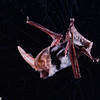 A spotted bat (Euderma maculatum) in a mist-net in Utah. Field Work