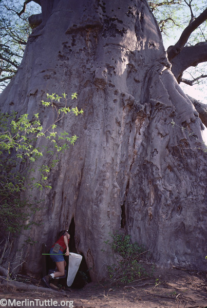 Merlin Tuttle entering a giant baobab tree in Zimbawe in search of horseshoe bats. Some of the world's largest tropical tree species appear to benefit from becoming hollow early, thus attracting bats whose dropping fertilize further growth. This tree was 98 feet in circumference and sheltered several species of bats. Field Work