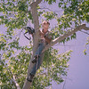 Merlin Tuttle  climbing a sycamore tree in Arizona, radio receiver in hand, searching for the  cavity in which a radio-tagged Southwestern myotis (Myotis auriculus) was roosting in 1993. Field Work