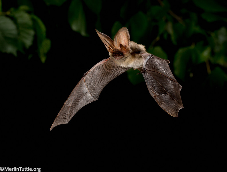 Gray long-eared bats (Plecutus austriacus) are found only in Europe, ranging from Portugal to Moldova and from Moldova and from Denmark to Greece.  These bats are often solitary but may form nursery colonies of 10 to 30 females. This is a relatively sedentary species that occupies a wide variety of roosts and habitats. In summer, it roosts mostly in tree cavities and buildings and may also use caves during winter hibernation. It feeds mostly on moths in lowland valleys, including in agricultural landscapes. It is very similar to the Brown long-eared bat, from which it was first distinguished in the 1960s. Flight