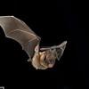 A  common sword-nosed bat (Lonchorhina aurita) in Panama.  Flight
