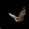 The Pomona roundleaf Bat (Hipposideros pomona) ranges throughout most of Southeast Asia, from India and Sri Lanka to peninsular Malaysia and southern China. It seems quite tolerant of habitat modification and is sometimes found even in urban areas, though little is know about its ecology and behavior. It normally forms small colonies in caves or cave-like locations and is insectivorous. Members of this genus often hunt near the ground, feeding on beetles, cockroaches and termites. The large ears likely facilitate listening for insect sounds when hunting, and the strange nose is adapted for nasal transmission of echolocation.