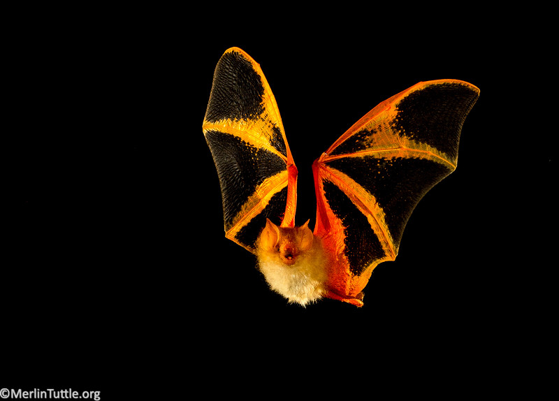 Bright colors of painted bats blend well with dead leaves where they roost. Flight, Vespertilionidae, S and SE Asia