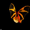 Bright colors of painted bats blend well with dead leaves where they roost.