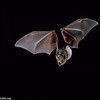 A lesser long-nosed bat (Leptonycteris yerbabuenae) in flight with agave pollen on its face in Arizona. Pollination, Flight