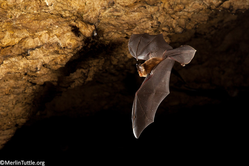 A Cuban funnel-eared bat (Chilonatalus micropus) emerging from Cueva de los Majaes in Cuba. Range is Mexico, C and S America and Caribbean. Flight