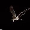Brazilian free-tailed bat (Tadarida brasiliensis) eating a corn earworm moth (Helicoverpa zea) in flight in Texas.