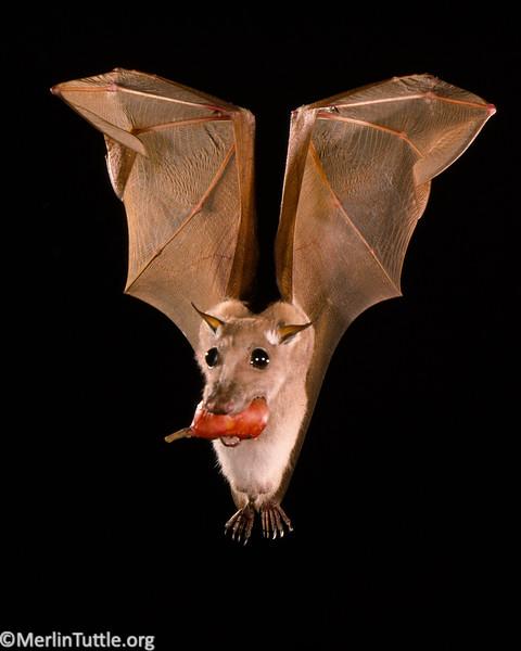 Minor epauletted fruit bat (Epomophorus labiatus minor)