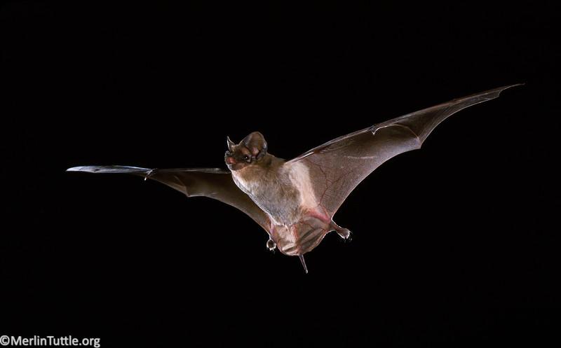 Brazilian free-tailed bat (Tadarida brasiliensis) in Texas. Flight