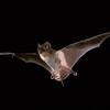 Brazilian free-tailed bat (Tadarida brasiliensis) in Texas.