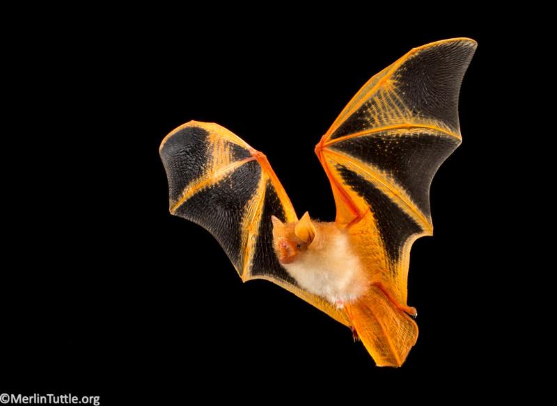 Painted or Butterfly Bat (Kerivoula picta), Vespertilionidae