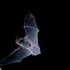 An endangered Indiana myotis (Myotis sodalisi in Tennessee. Flying