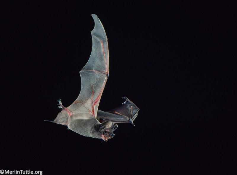 A  pocketed free-tailed bat (Nyctinomops femorosaccus) in Arizona. Flight