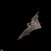Cave myotis (Myotis velifer) in flight in Texas.