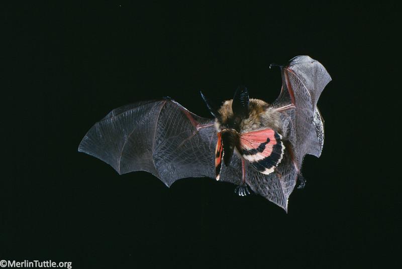 A long-eared myotis (Myotis evotis) in flight with its prey. Catching prey
