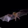 Lesser long-nosed bat (Leptonycteris yerbabuenae) in flight in Arizona, in 1986.