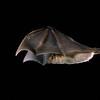 A greater long-nosed bat (Leptonycteris nivalis) in flight in Big Bend, Texas. Flight
