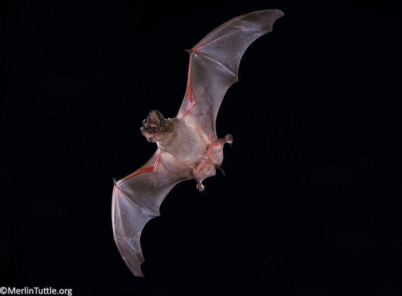 A Brazilian free-tailed bat (Tadarida brasiliensis) in flight in Florida.
