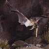 A pallid bat (Antrozous pallidus) in flight with a scorpion, its prey.