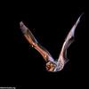 hoary bat (Lasiurus cinereus)