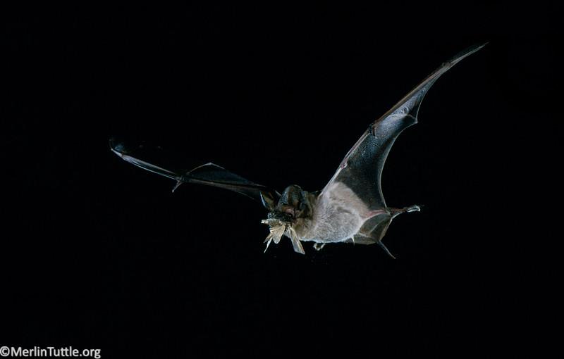 Brazilian free-tailed bat (Tadarida brasiliensis) eating a corn earworm moth (Helicoverpa zea) in flight in Texas. Catching Prey