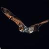 A hoary bat (Lasiurus cinereus) in Texas. Flight