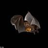 Phyllostomidae, Great fruit-eating bat (Artibeus lituratus), seed dispersal