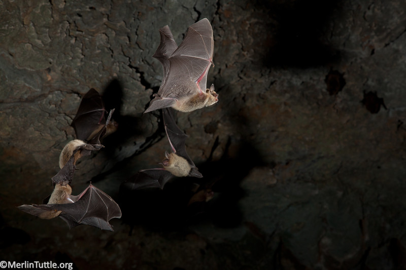 Emerging from Texas Hill Country Cave nursery colony. Flight
