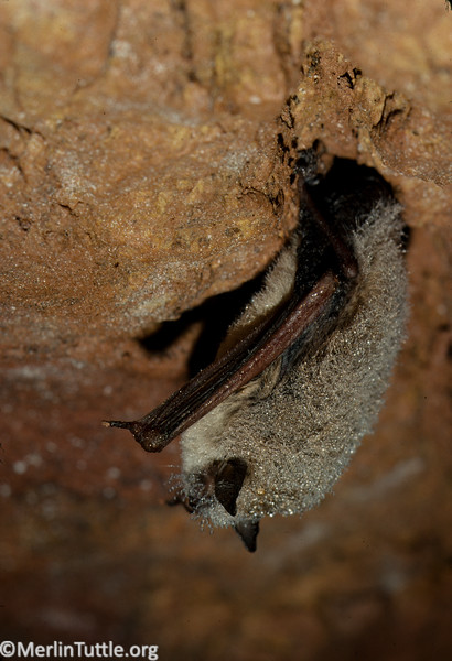 Hibernating little brown myotis (Myotis lucifugus) covered in moisture condensation in an abandoned Wisconsin mine. In the far North, these bats may have to hibernate for as long as eight months, making them especially vulnerable to white nose syndrome, a recently introduced fungus which depletes fat reserves and has caused massive mortality. Hibernation