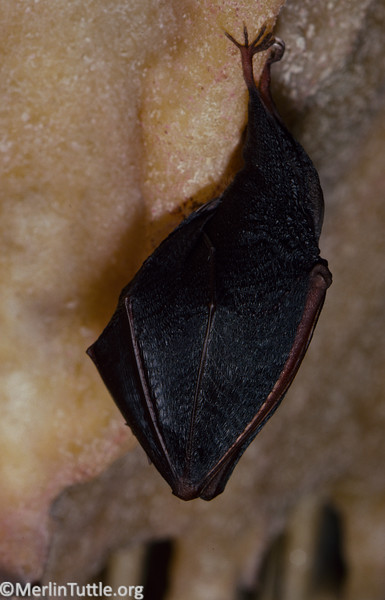 Lesser horseshoe bat (Rhinolophus hipposideros) hibernating, wrapped in its wings, in a cave in Wales.