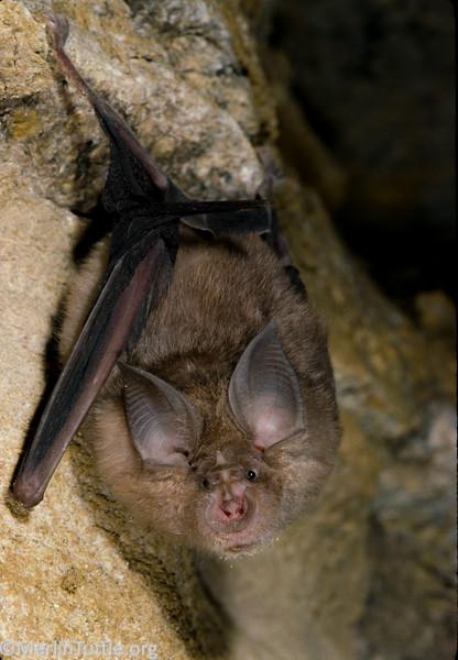 greater horseshoe bat Rhinolophus ferrumequinum