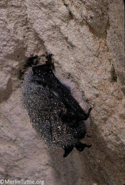 Whiskered bat (Myotis mystacinus) hibernating in an abandoned mine. Coverd with moisture condensation. Dehydration is one of the threats to a hibernating bat. By roosting where condensation occurs, they reduce the threat of dehydration.