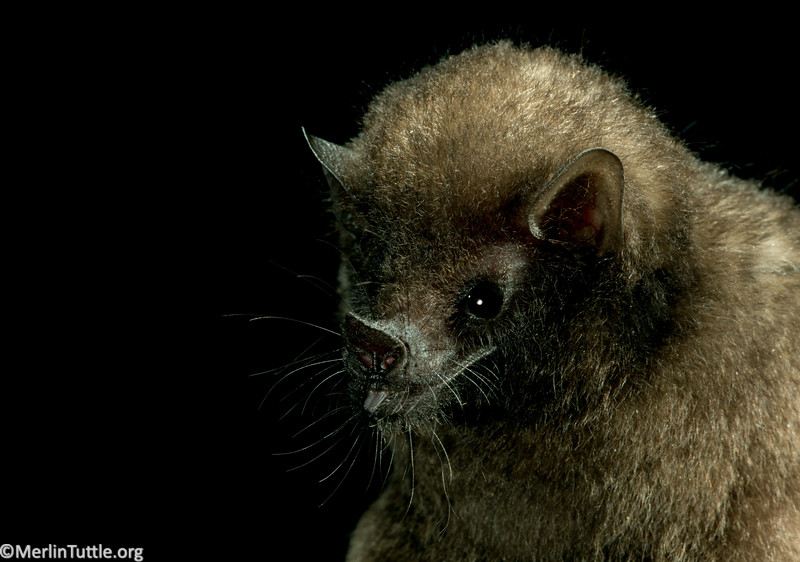 A dark long-tongued bat (Lichonycteris obscura) in Panama.