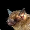 A Central American yellow bat (Rhogeesa tumida) in Panama.